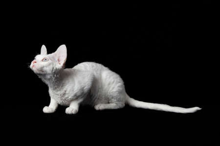 studioshot: Devon Rex on black background