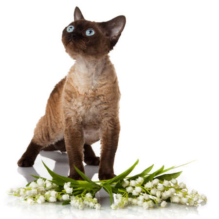 studioshot: Devon Rex cat on white background Stock Photo