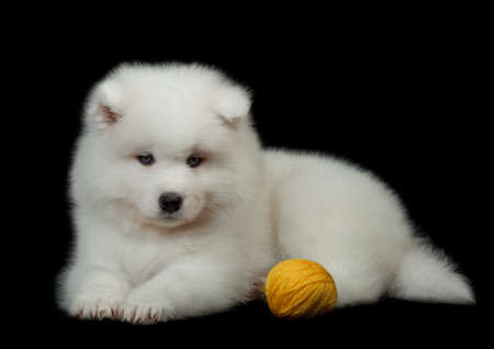 pure bred: Samoyed dog  on black background  Stock Photo