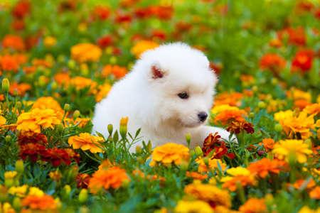 cute dog: Samoyed dog Stock Photo