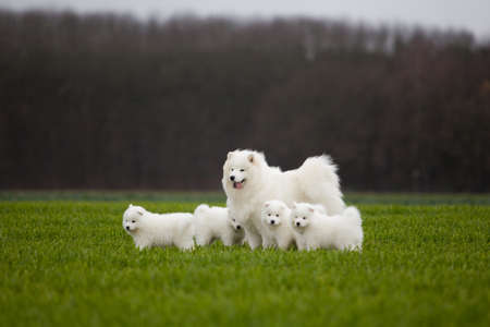 Samoyed dog photo