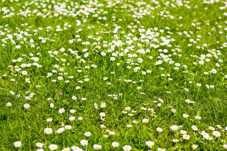 field of daisyes  Green grass and chamomiles in the nature Stock Photo - 17117759