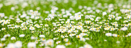 field of daisyes  Green grass and chamomiles in the nature photo