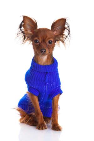 toy terrier: Toy terrier russo toy terrier su uno sfondo bianco Funny cagnolino