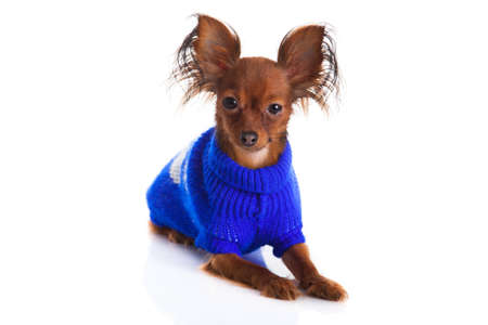 Toy terrier  Russian toy terrier on a white background  Funny little dog photo