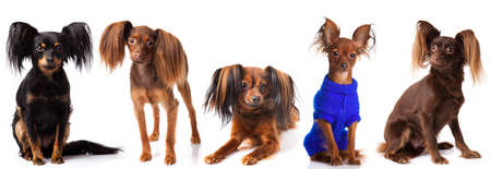 Collection of Russian Toy Terrier on a white background  Little Dog Stock Photo - 18218042