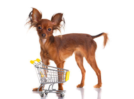 russkiy: Toy Terrier with shopping cart isolated on white  Funny little dog  Russian toy terrier on a white background Stock Photo