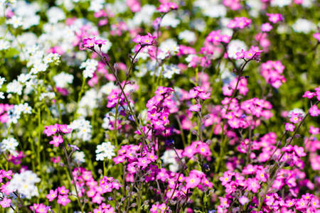 carlsbad: Beautiful colorful flowers in the field
