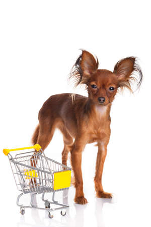 Toy Terrier with shopping cart isolated on white  Funny little dog  Russian toy terrier on a white background Stock Photo - 18413300