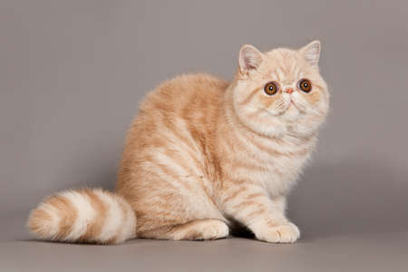 Exotic shorthair cat. persian cat on grey background photo