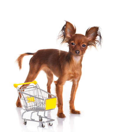 russkiy: Toy Terrier with shopping cart isolated on white. Funny little dog. Russian toy terrier on a white background Stock Photo