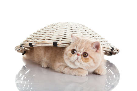Exotic shorthair cat. Funny playful cat photo