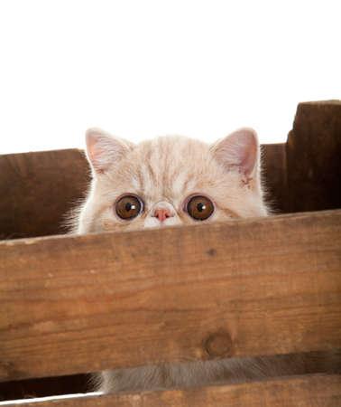Exotic shorthair cat. beautiful  cat in a box. photo