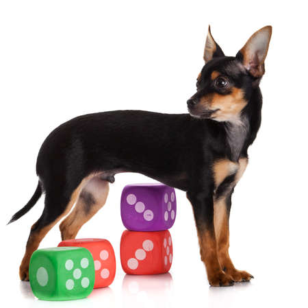 chihuahua dog: Chihuahua , 5 months old. chihuahua dog with  dice isolated on white background.