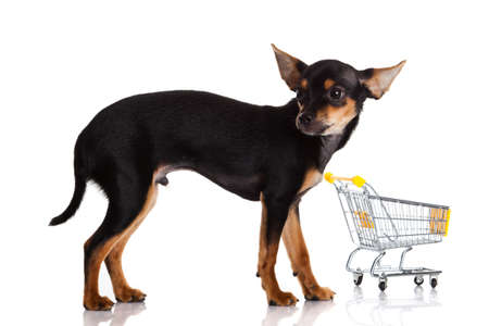 Chihuahua dog  with shopping cart photo