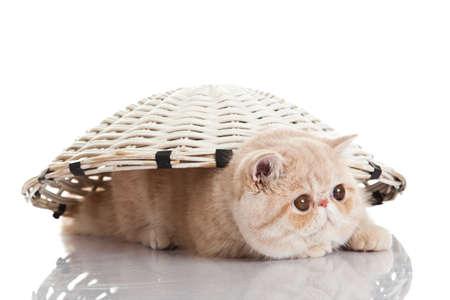persian cat: Exotic shorthair cat. Funny playful cat