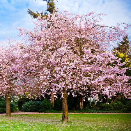 Sakura flowers blooming. Beautiful pink cherry blossom
