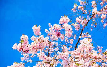 cerezos en flor: Sakura flores floreciendo. Hermosa rosa flores de cerezo
