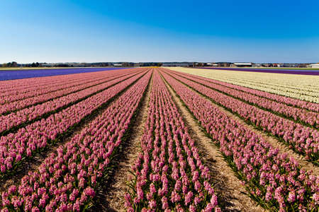 field of hyacinth  photo