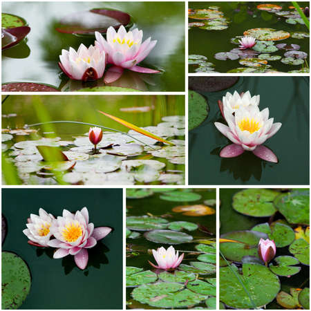 water lily  collage  photo