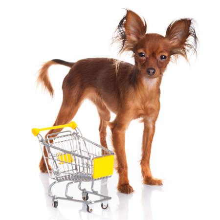 Toy Terrier with shopping cart isolated on white photo
