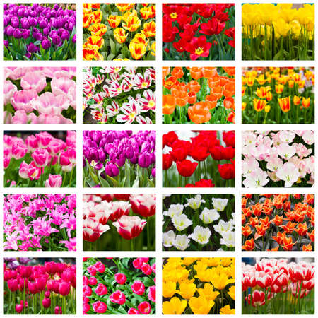 Tulips collage Spring flowers photo