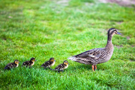 follow: Family of ducks  Stock Photo