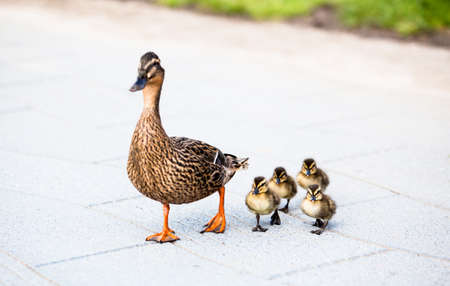 Family of ducks  免版税图像