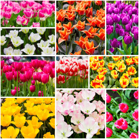Tulips collage. Spring flowers photo
