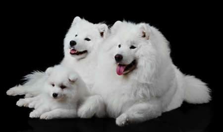 Samoyed dog  family photo