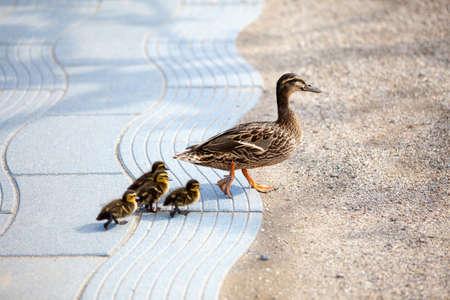 huddling: Family of ducks Stock Photo