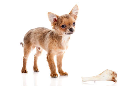 chihuahua dog isolated on white background photo