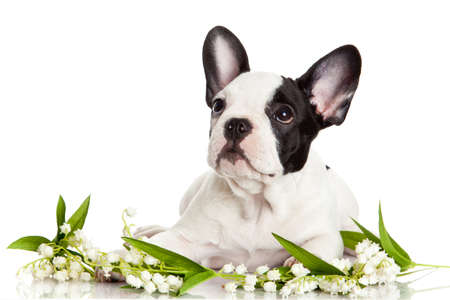 French bulldog  portrait on a white background. photo