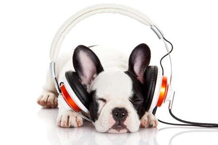 犬は、白い背景で隔離のヘッドフォンで音楽を聴きます。白い背景の上のフレンチ ブルドッグ子犬の肖像画 写真素材