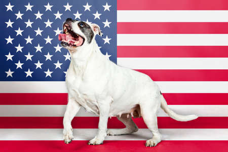 American bulldog with US flag in as background. photo