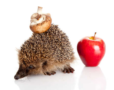 hedgehog isolated. photo