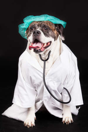 American Bulldog. dog dressed in a doctor coat and wearing a stethoscope against a black background photo