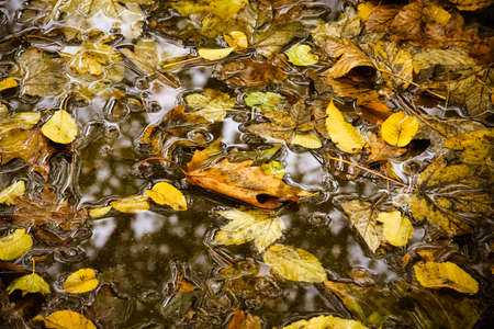 Yellow maple leaf to swim on the water. autumn leaves in a water Stock Photo - 21578987