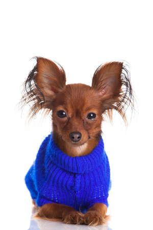 Toy terrier. Russian toy terrier on a white background. Funny little dog photo