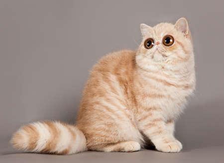 persian cat: Exotic shorthair cat. persian cat on grey background
