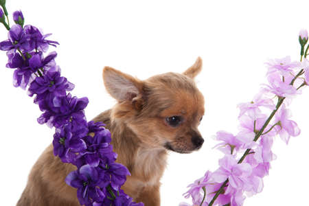 compliment: chihuahua dog with  flowers on white background. Stock Photo