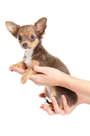Hands holding puppy.little puppy sitting on the palm. chihuahua dog isolated on white background photo