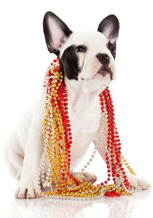 francais: Adorable  French Bulldog  wearing  jewelery on white background. French bulldog puppy portrait over white background