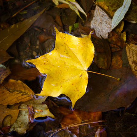 Yellow maple leaf to swim on the water. autumn leaves in a water Stock Photo - 21724929