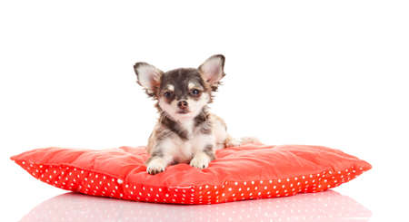 chihuahua dog: Chihuahua dog on red  pillow isolated on white background  portrait of a cute purebred puppy chihuahua