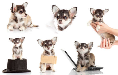 set of Chihuahua puppy. Cute purebred chihuahua in front of white background photo