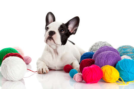 French Bulldog  puppy with a wool balls isolated on white background. Stock Photo - 21826150