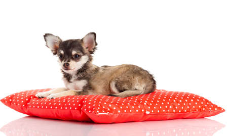 chihuahua dog: Chihuahua dog on red  pillow isolated on white background. portrait of a cute purebred puppy chihuahua Stock Photo