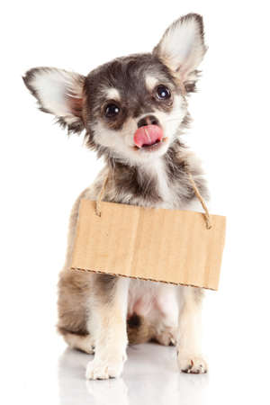 rescued: Chihuahua puppie  with empty cardboard.  Dog holding a homeless Stock Photo