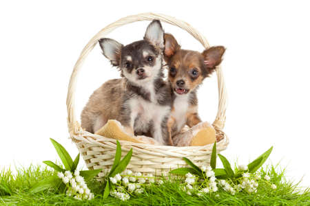 lChihuahua puppies. ovely puppy s.  portrait of puppies in a basket in front of white background photo
